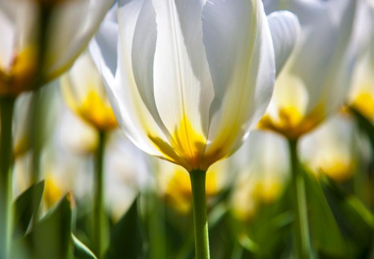 Tulips: Diana