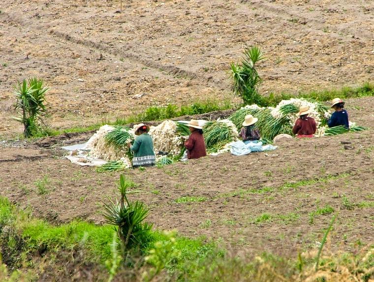 Women cutting & sorting, harvesting onions