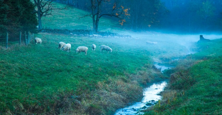 Sheep In Meadow Fog